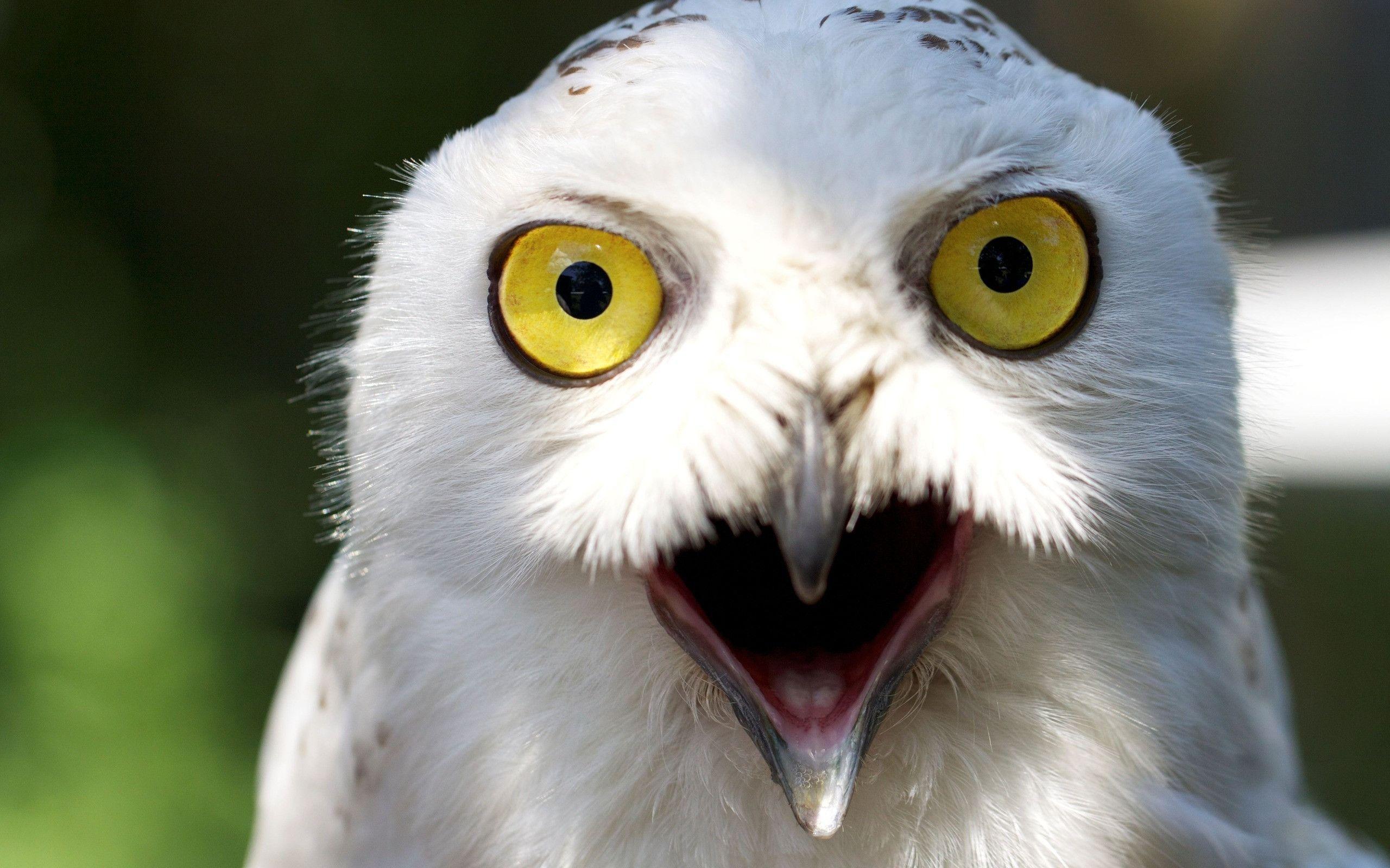 White Owl Images