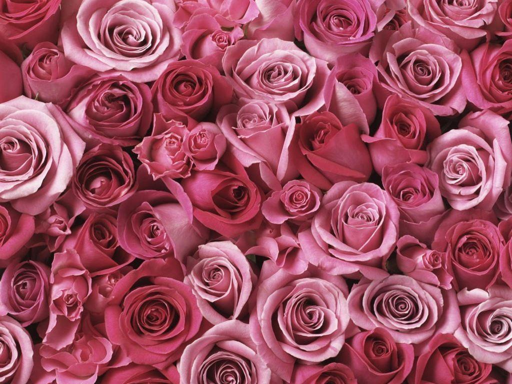 Wallpapers Pink Roses - Wallpaper Cave