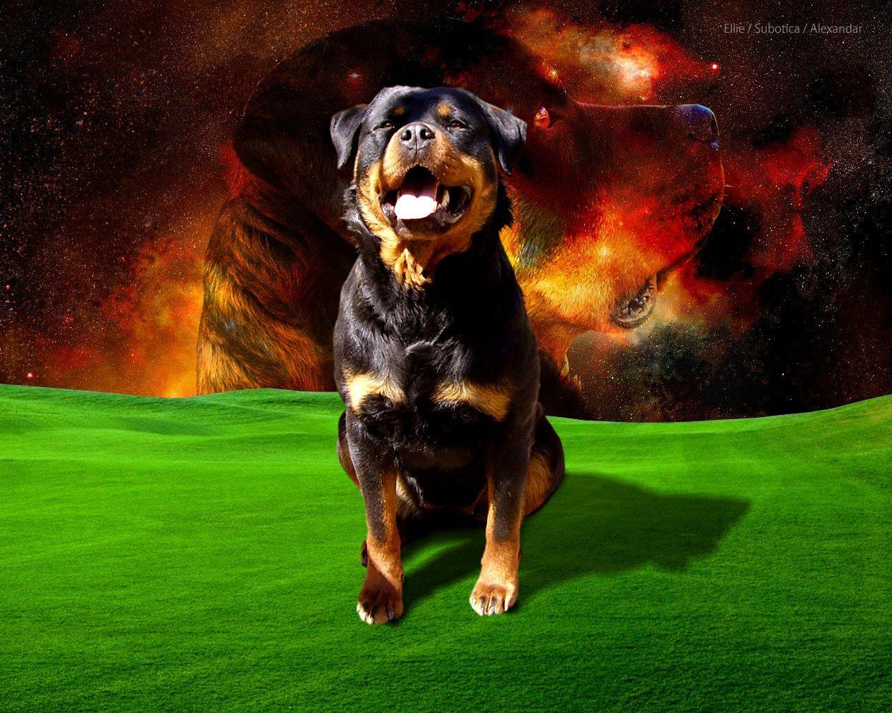 Rottweiler Givenchy Wallpaper
