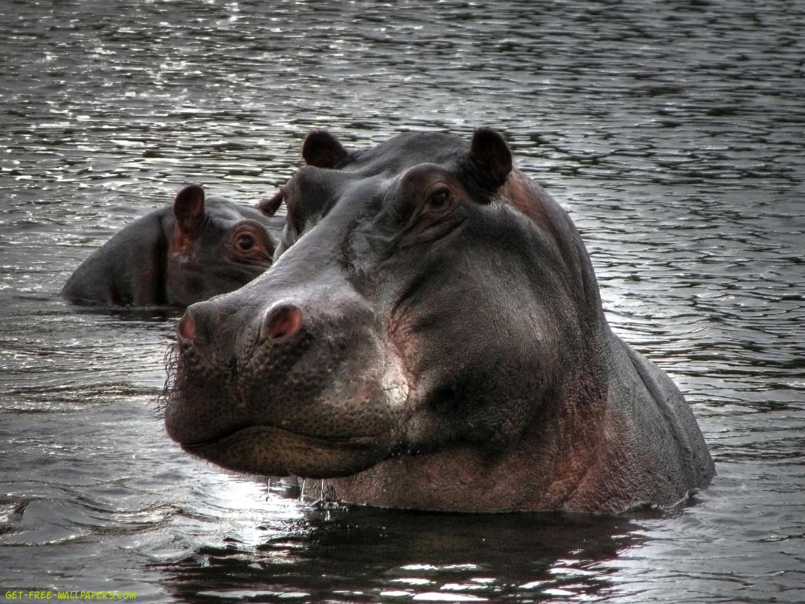 Download hippopotamus Wallpaper