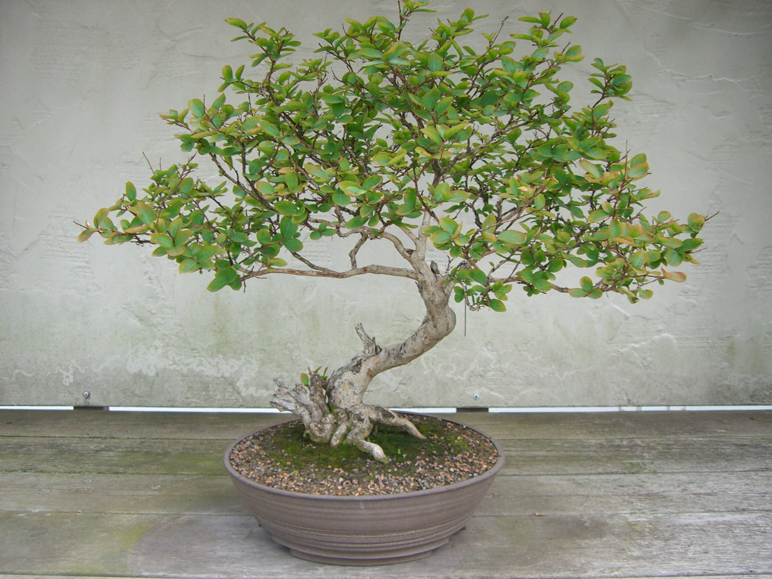 Download Bonsai Wallpaper 1600x1200 | Wallpoper #