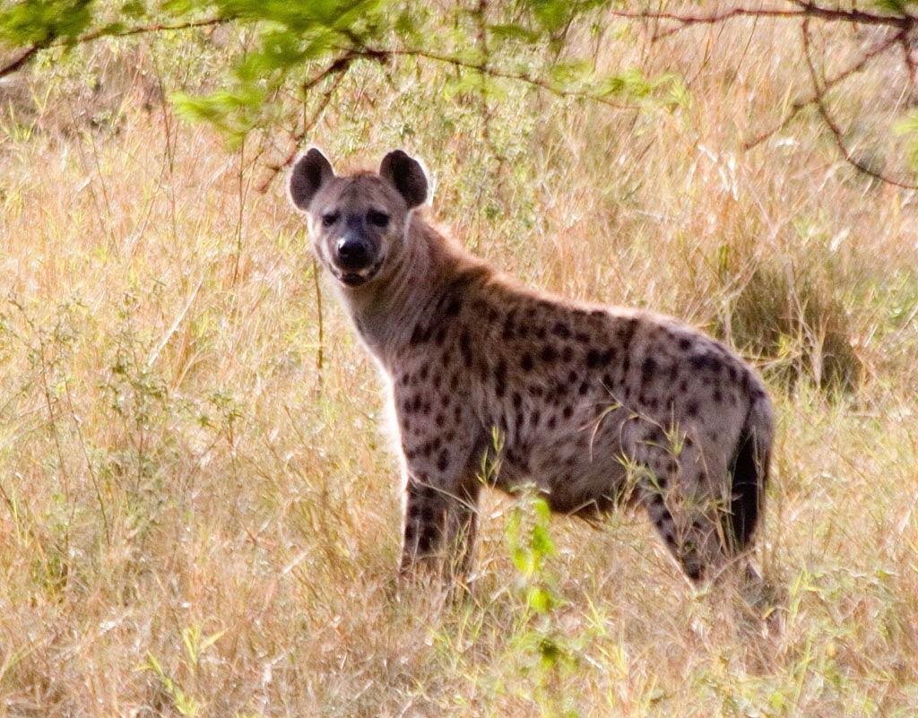 Hyena Wallpapers - Wallpaper Cave