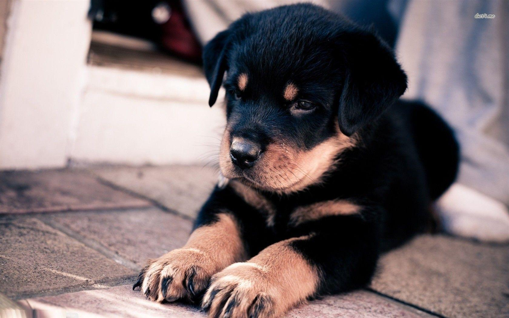 Rottweiler Wallpapers Wallpaper Cave