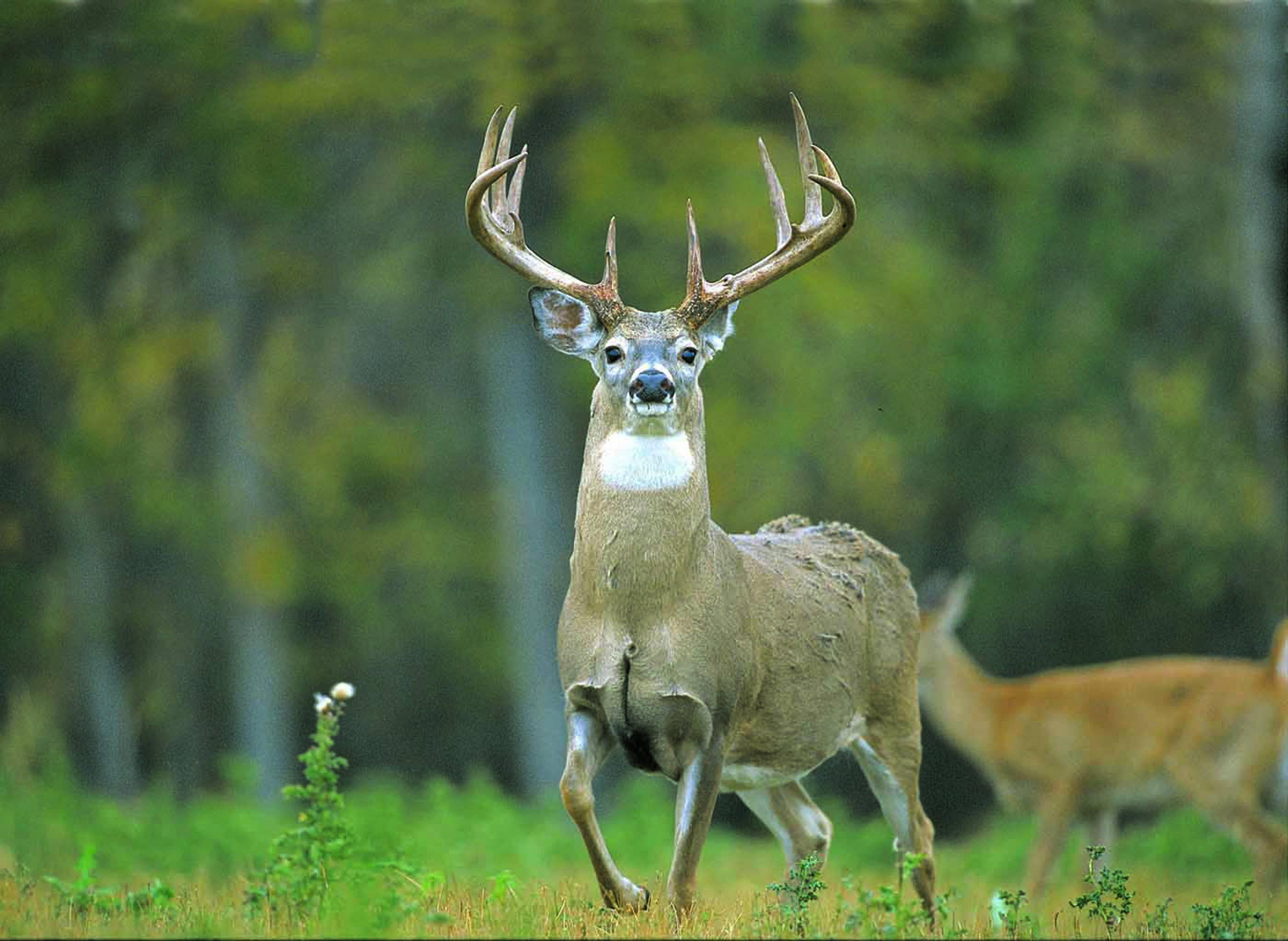 deer wallpaper for my desktop - photo #3