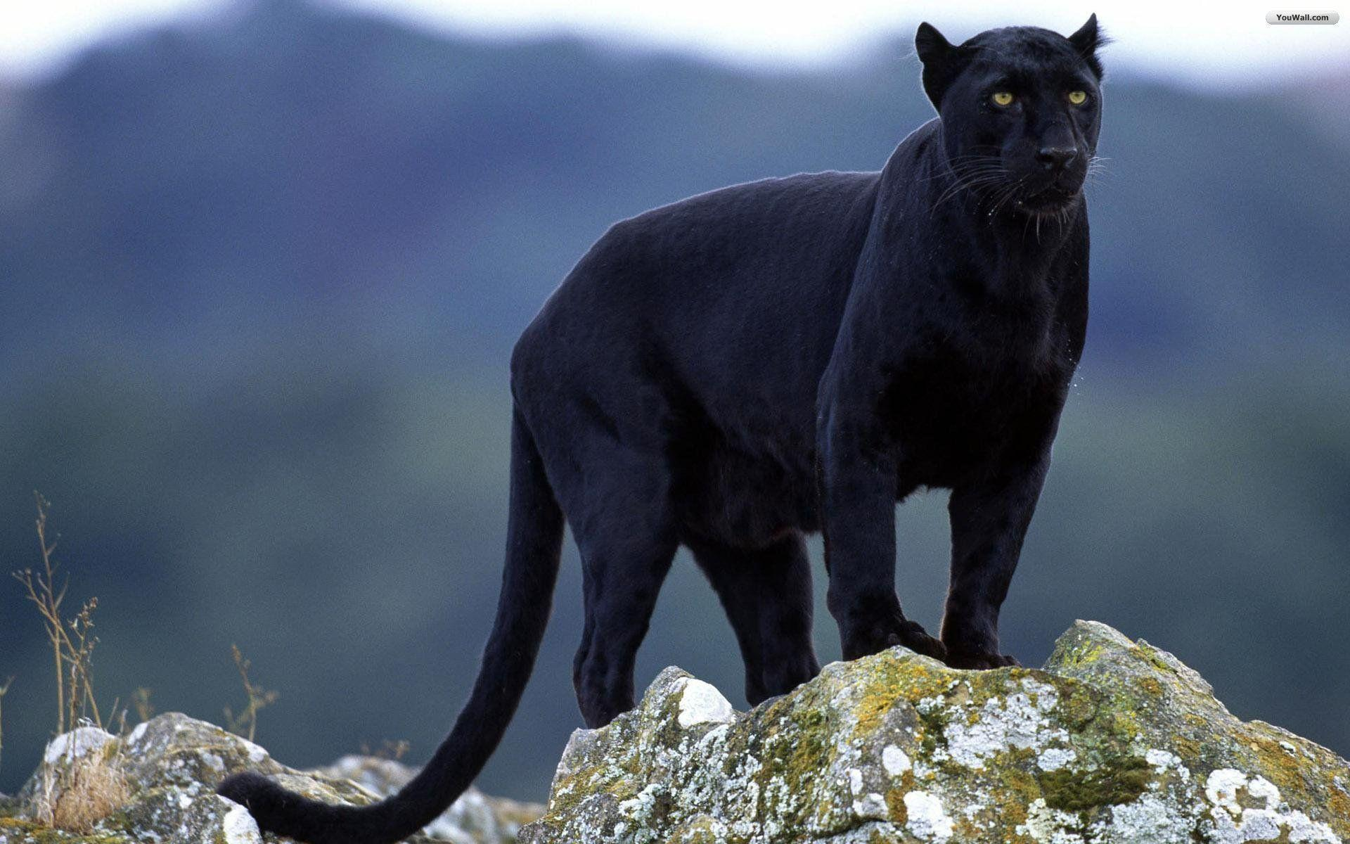 Black jaguar wallpapers wallpaper cave black jaguar animal wallpaper for desktop voltagebd Gallery