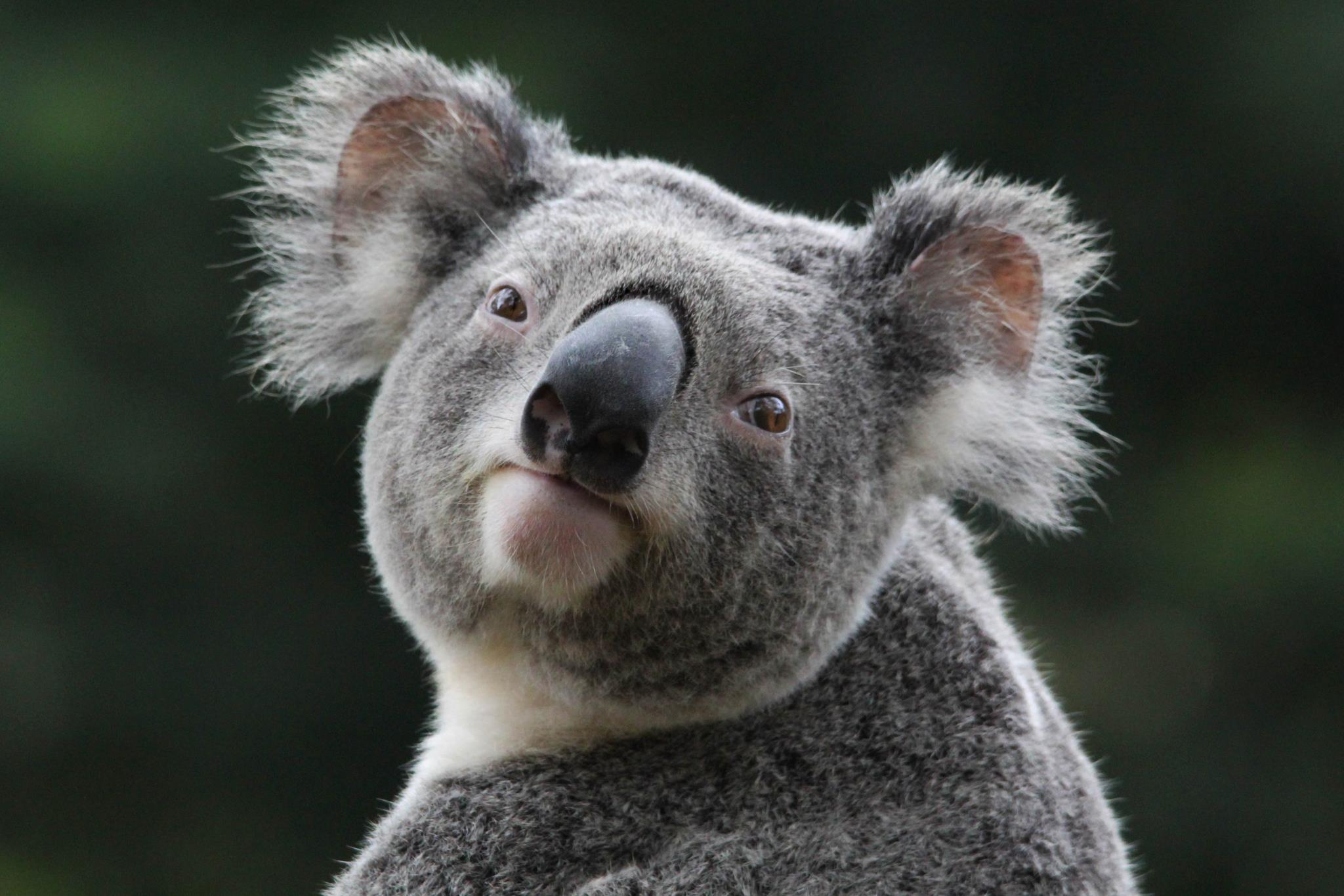 Wallpapers For > Cute Koala Wallpaper
