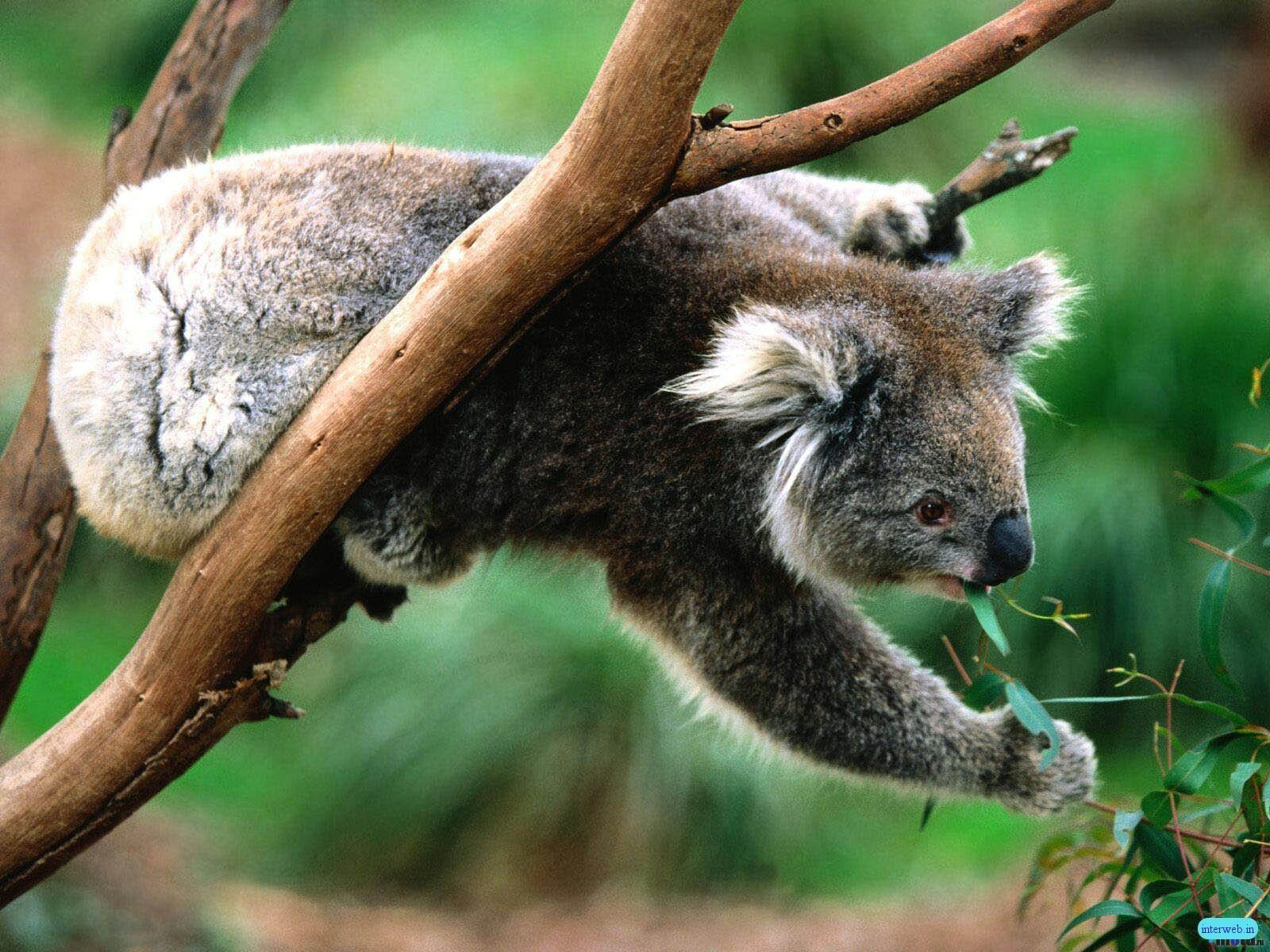 Koala Picture - Wallpaper Photo #
