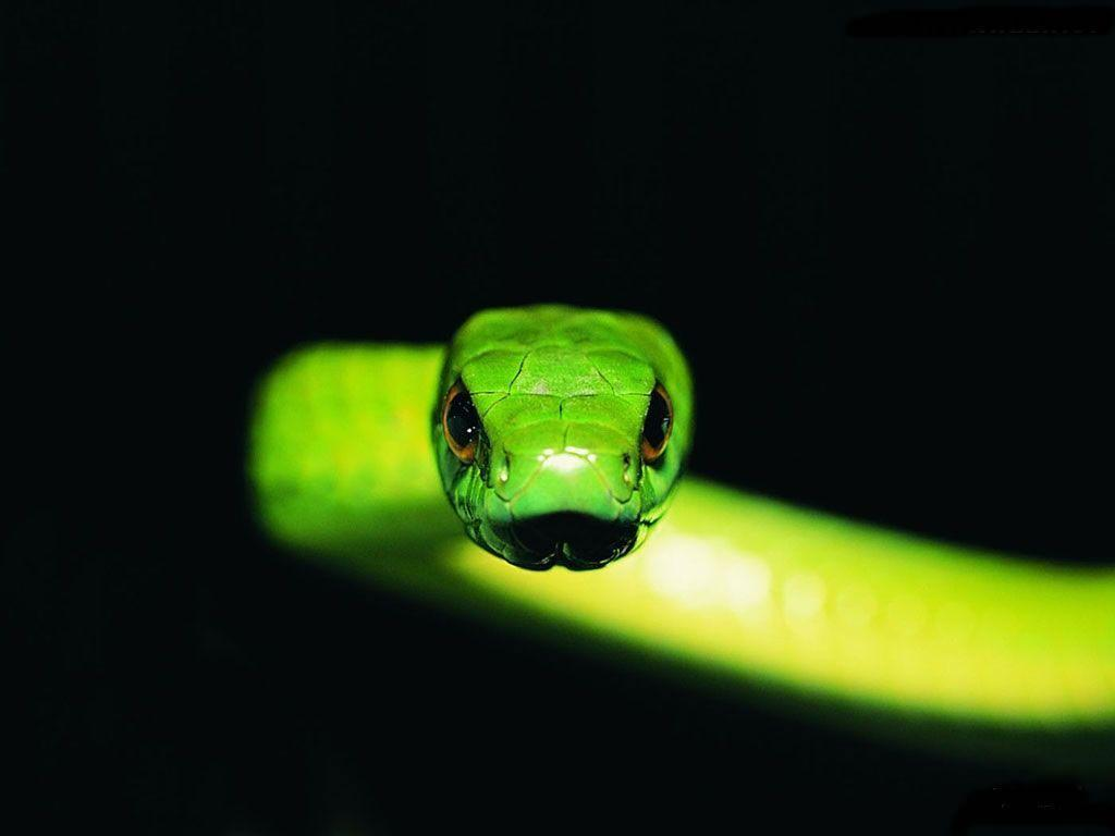 Bamboo snake Wallpapers