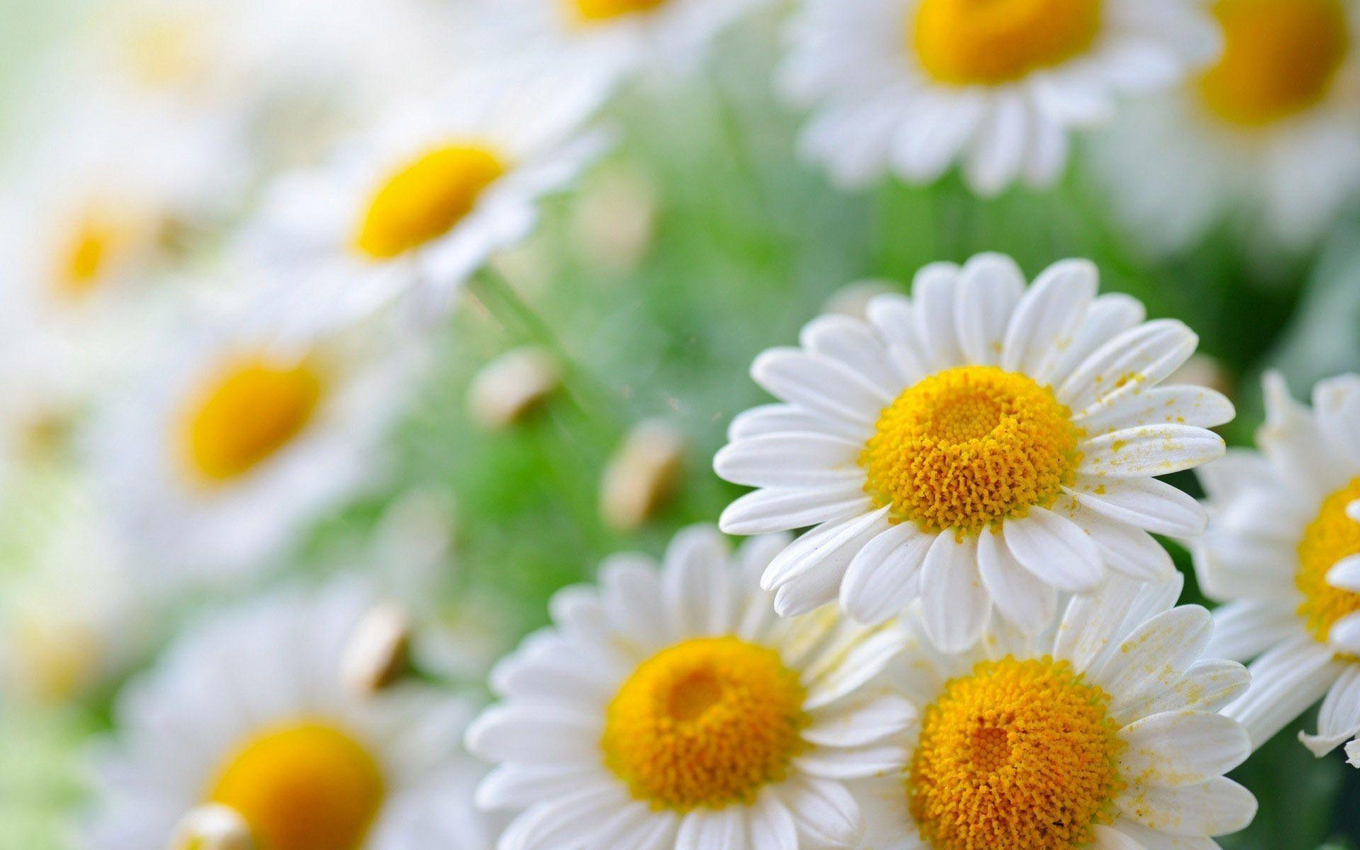 Wallpapers For > White Daisy Wallpapers