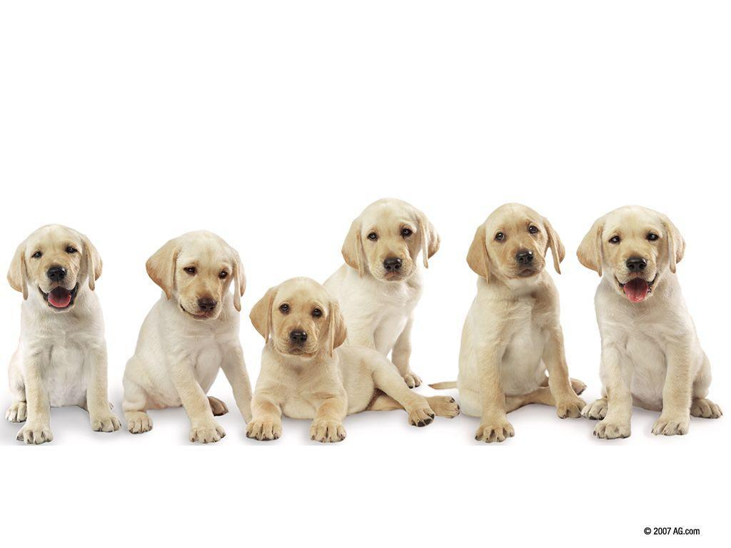 Pictures Of Labrador Pups 16152 Wallpaper - Res: 1024x768 ...