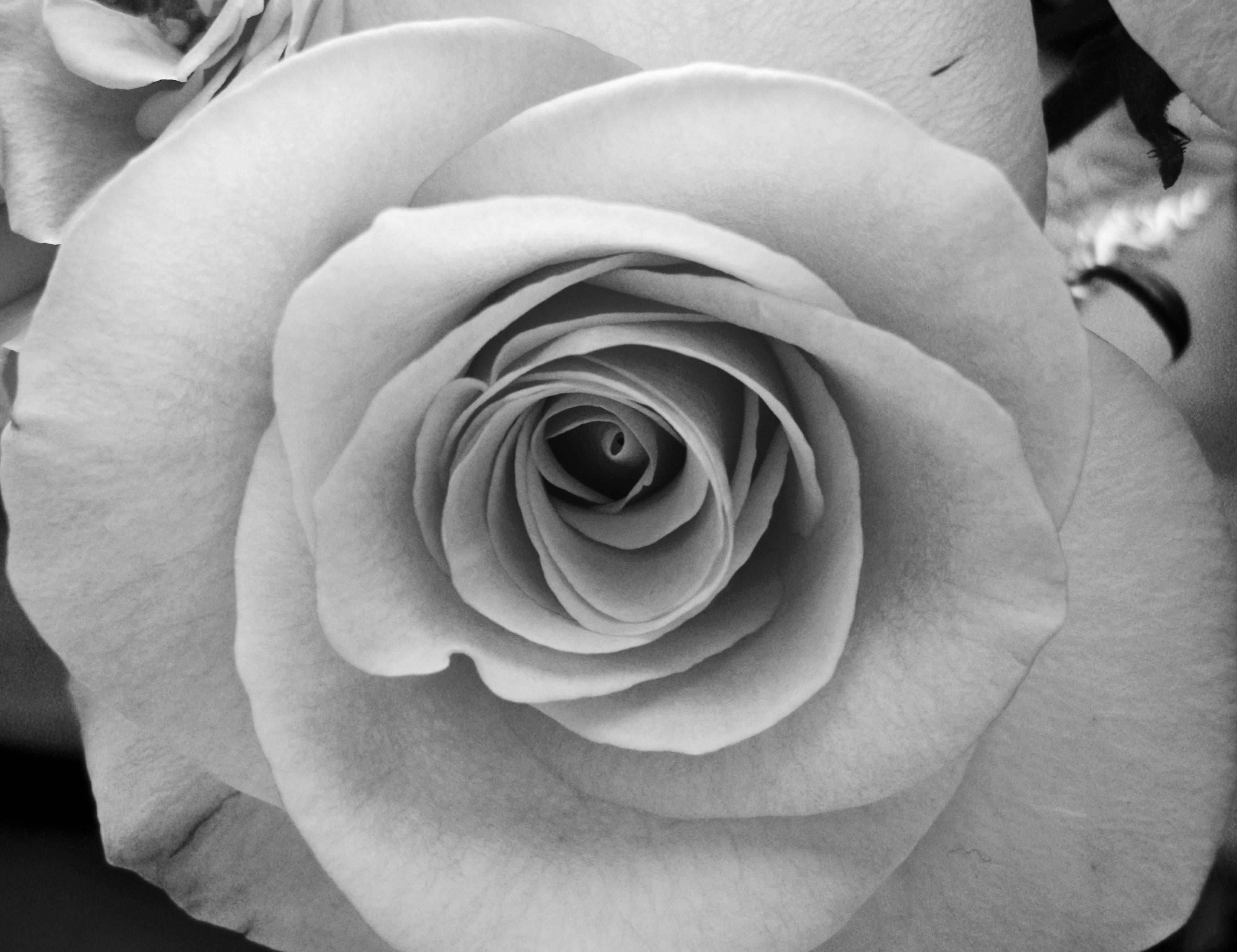 Wallpapers For > Black And White Rose Wallpapers