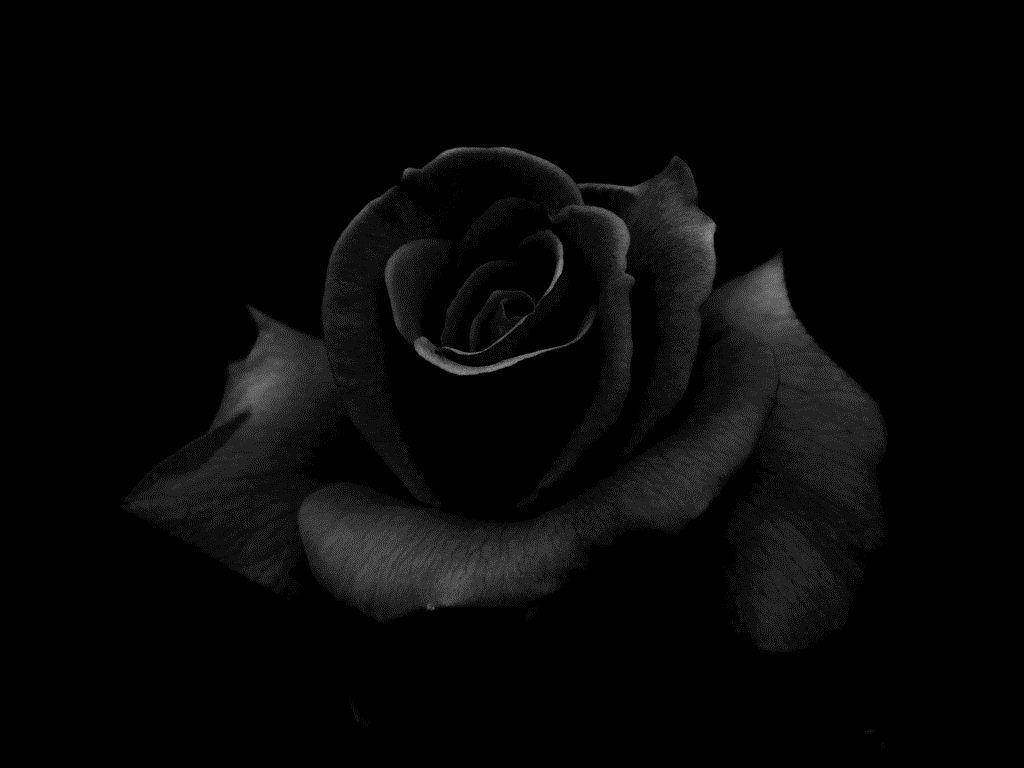 Black Roses Backgrounds Wallpaper Cave