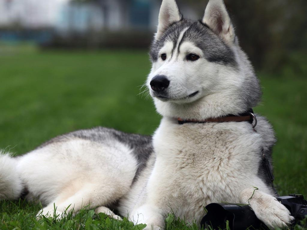 Alaskan Malamute puppy, picture and wallpaper | petcollectionworld.