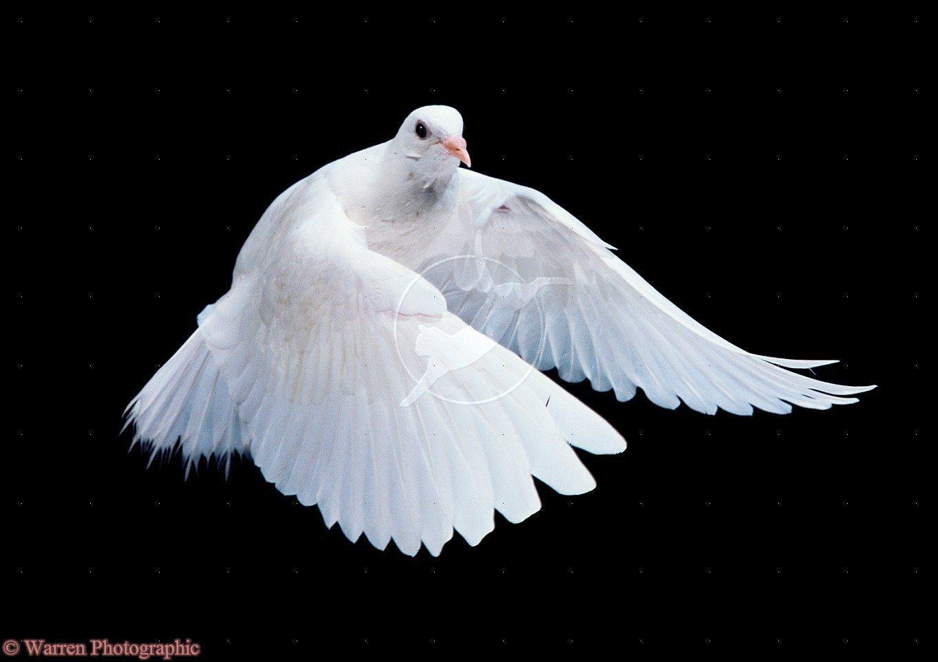 the symbolic view of a white dove Find this pin and more on white doves of peace  white dove- symbolic for the holy spirit  dove release, white doves, november 2013, side view,.