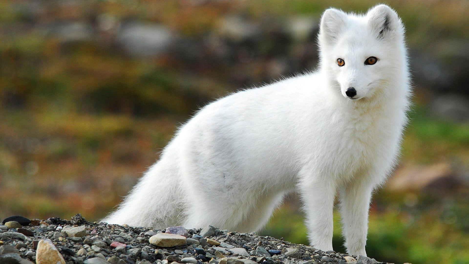 arctic fox cute white - photo #28
