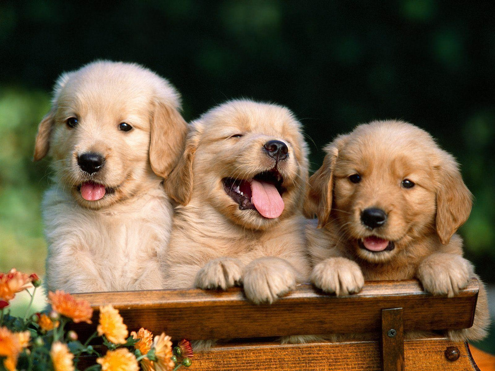 Golden Retriever Puppies wallpapers - HD Wallpapers Inn
