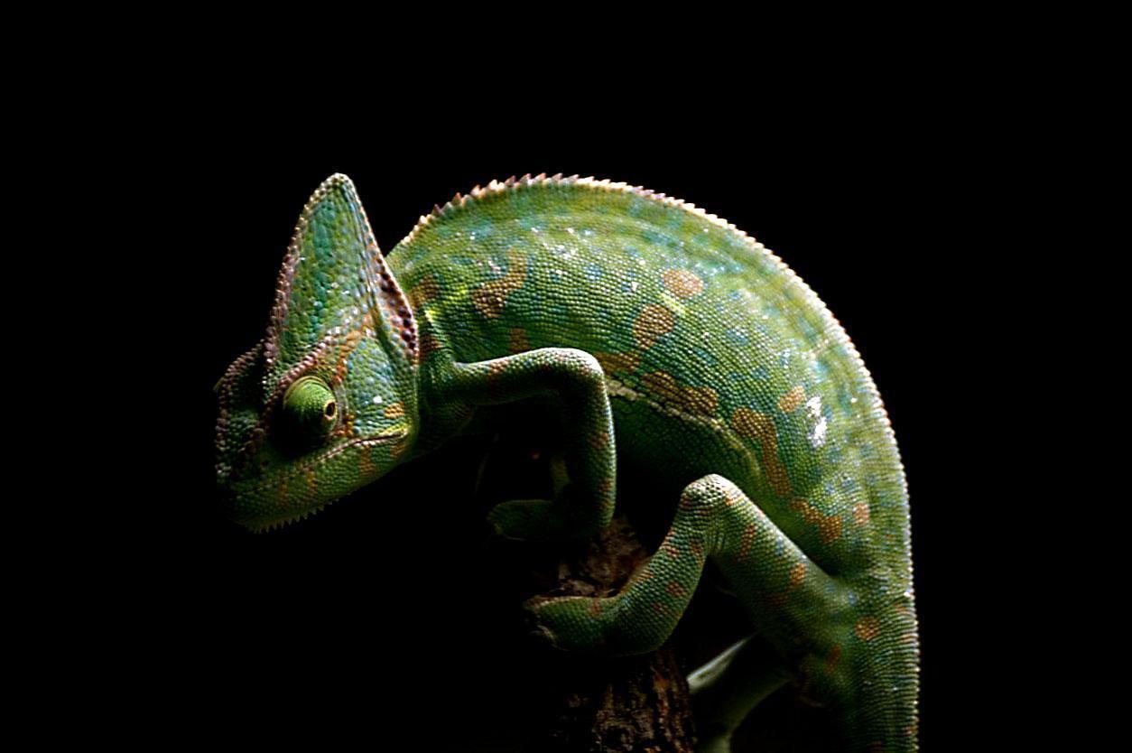 chameleon wallpaper 9661 - photo #10