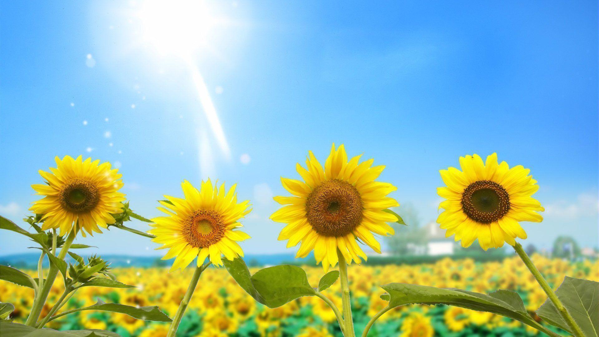 Sunflower Wallpapers Desktop Wallpaper Cave