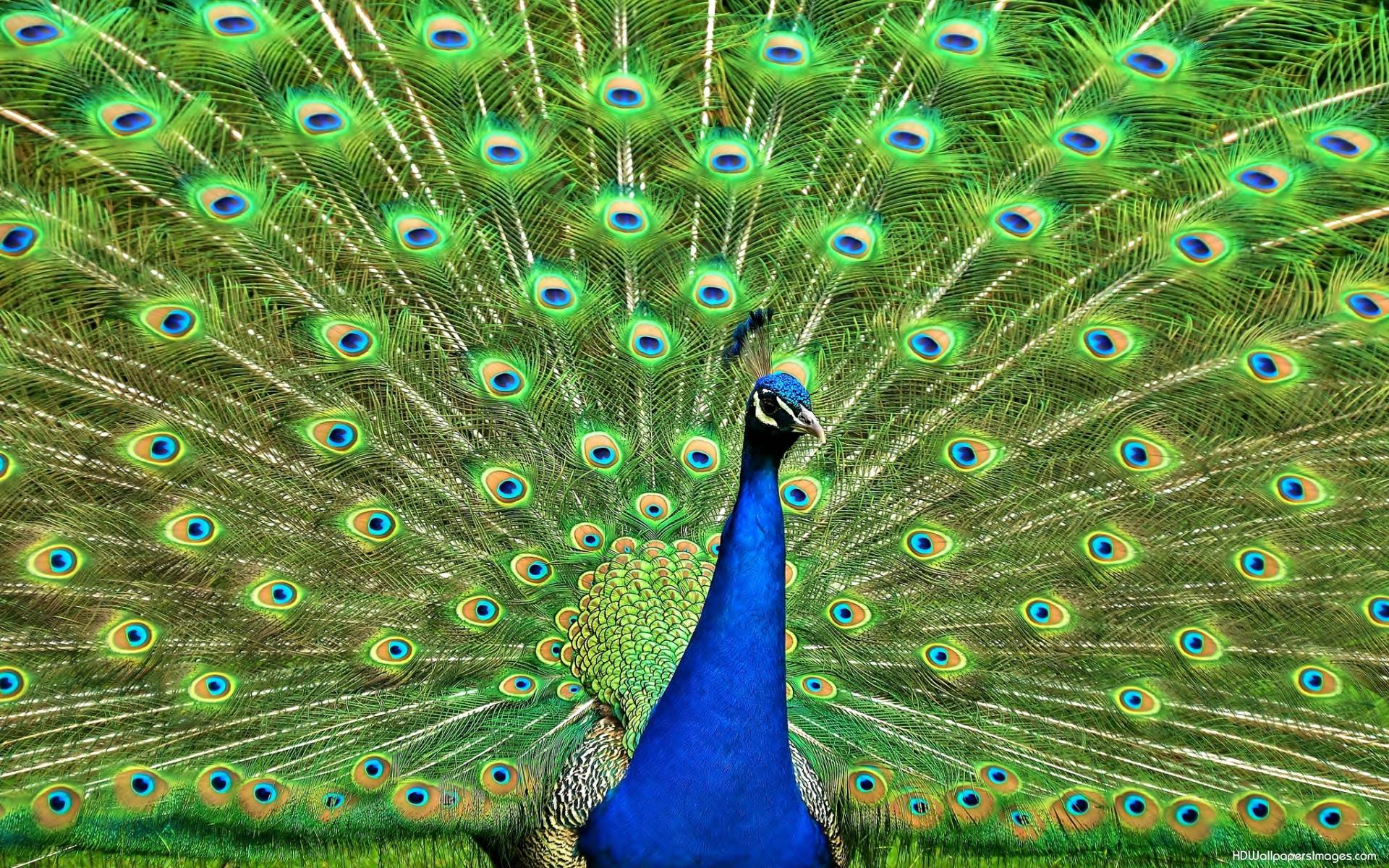 Wallpapers Of Peacock Feathers HD 2015