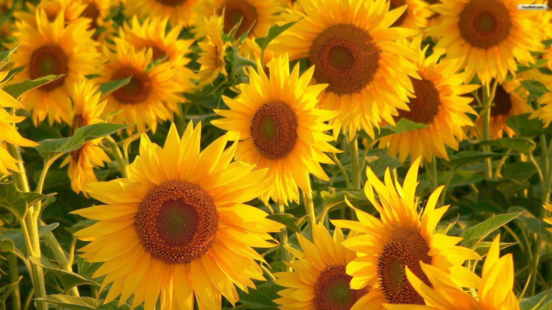 Flowers For > 3d Sunflower Wallpapers For Desktop
