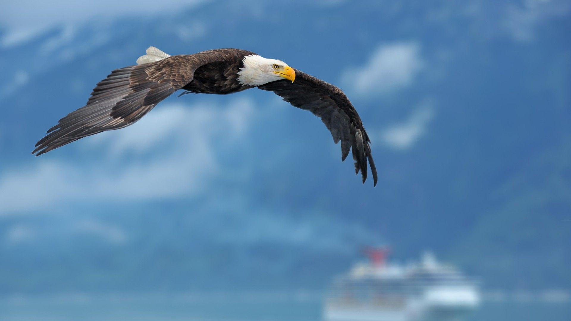 Download Flying Bald Eagle Wallpapers