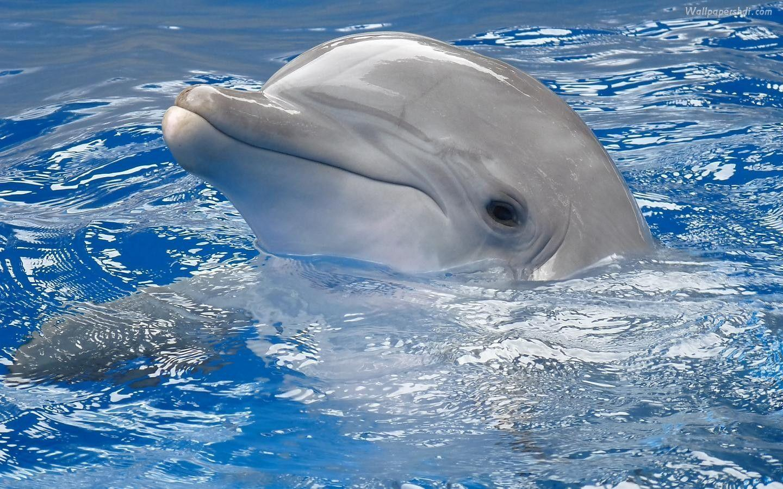 Dolphin Wallpaper Computer Desktop - imageswall.com