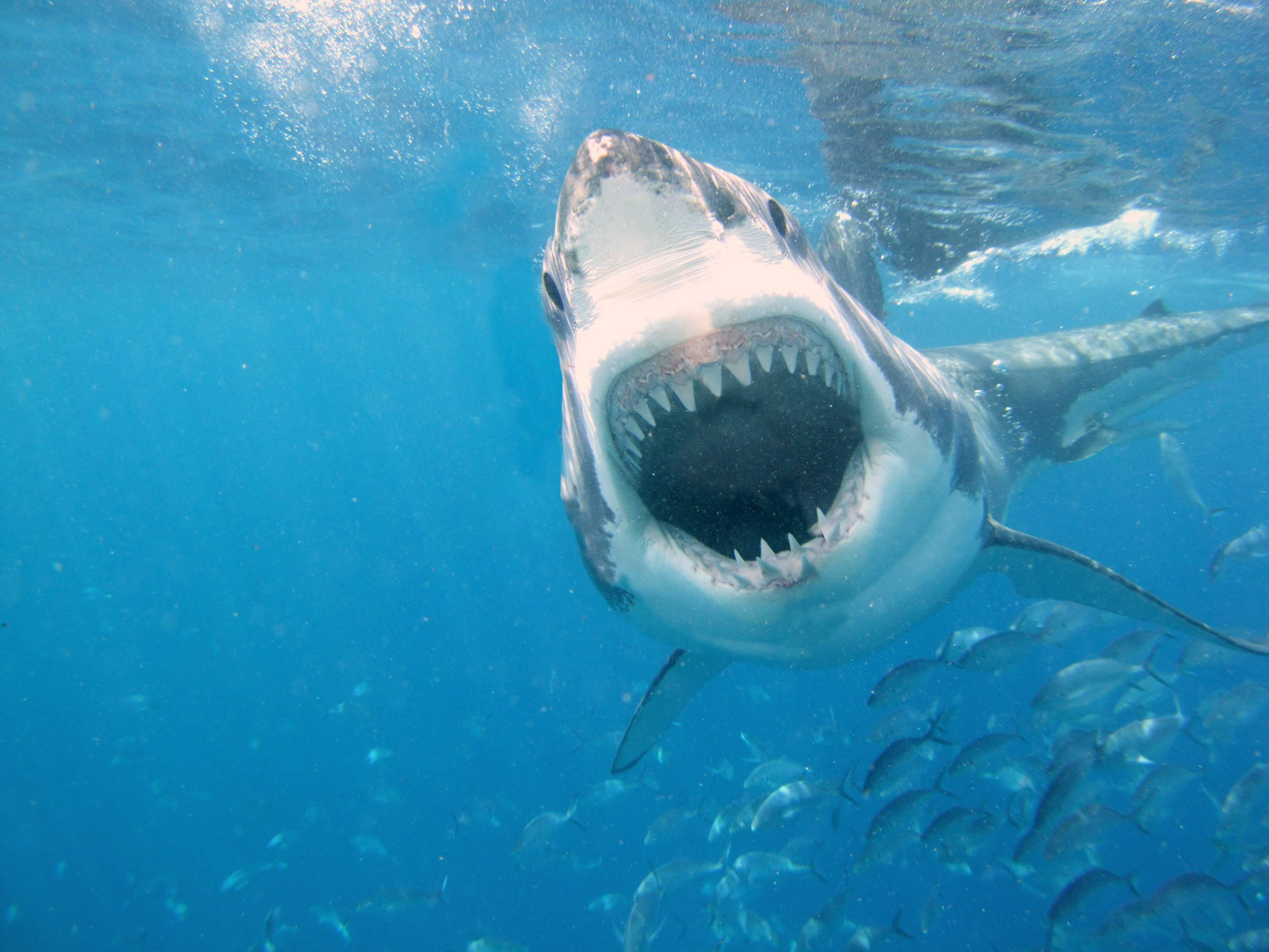 HD Shark Wallpapers - Wallpaper Cave