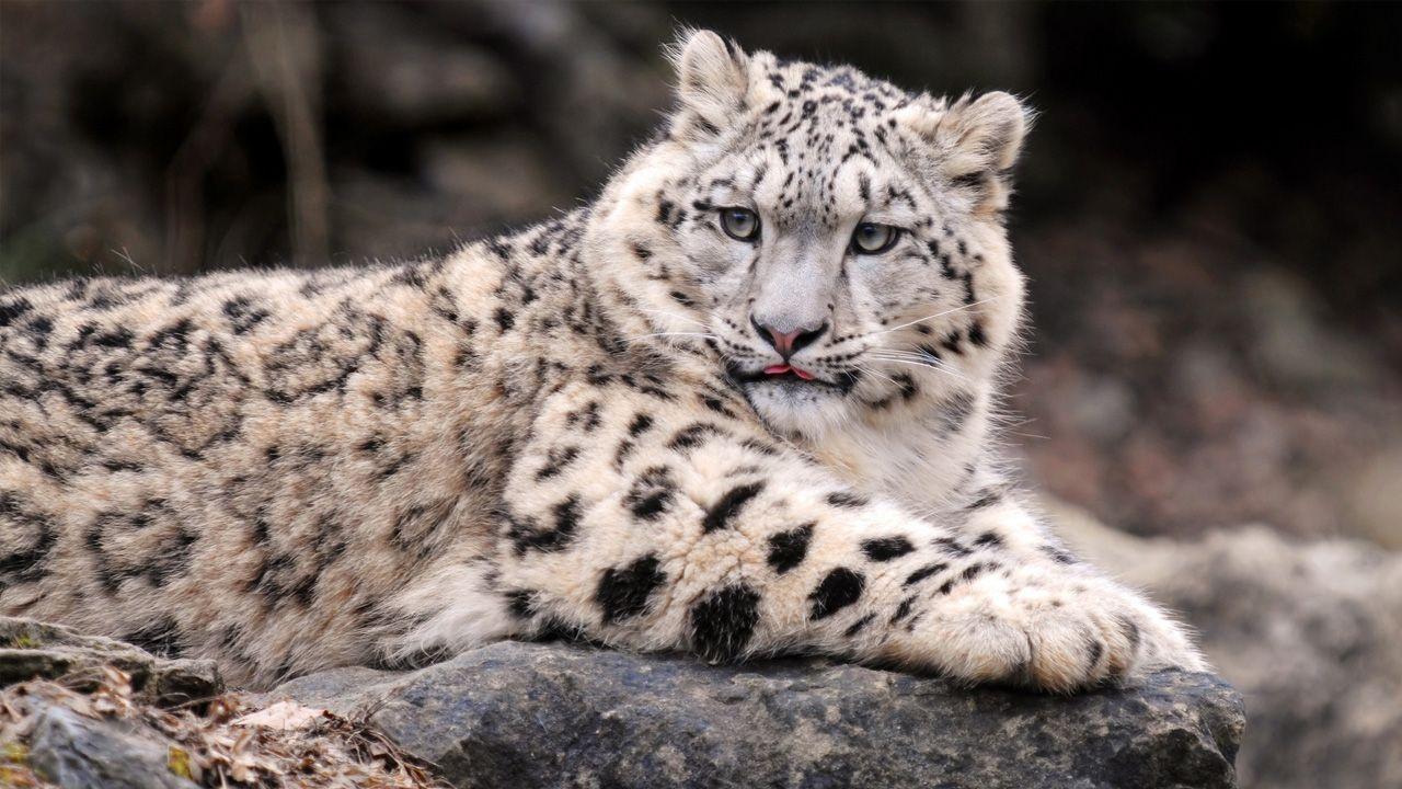 Snow Leopard HD Wallpapers