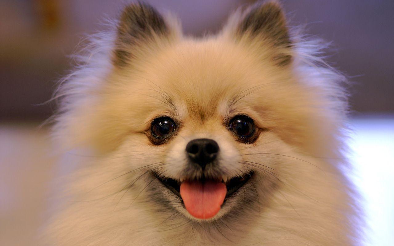 free pomeranian puppy wallpaper - photo #17