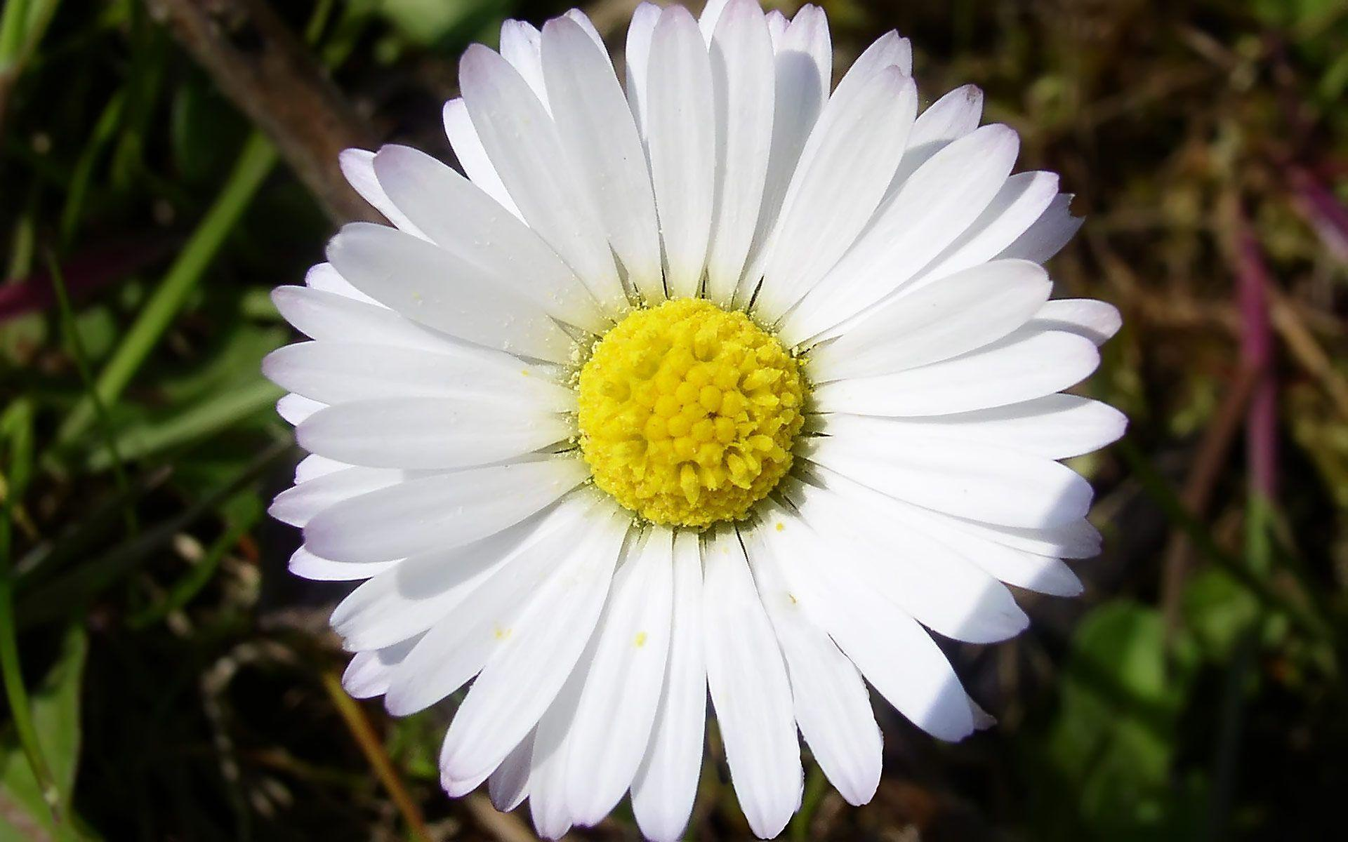 Daisy flower wallpapers wallpaper cave wallpapers for daisy flower wallpaper tumblr izmirmasajfo