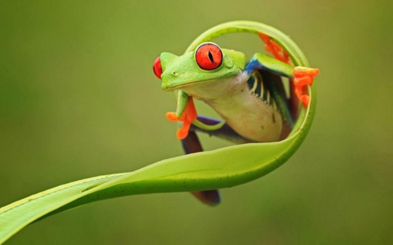 Frog Computer Wallpaper x px