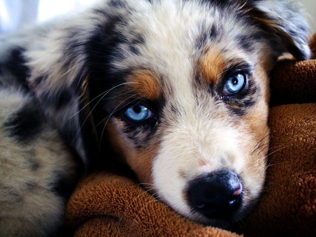 Resultado de imagen para australian shepherd cute