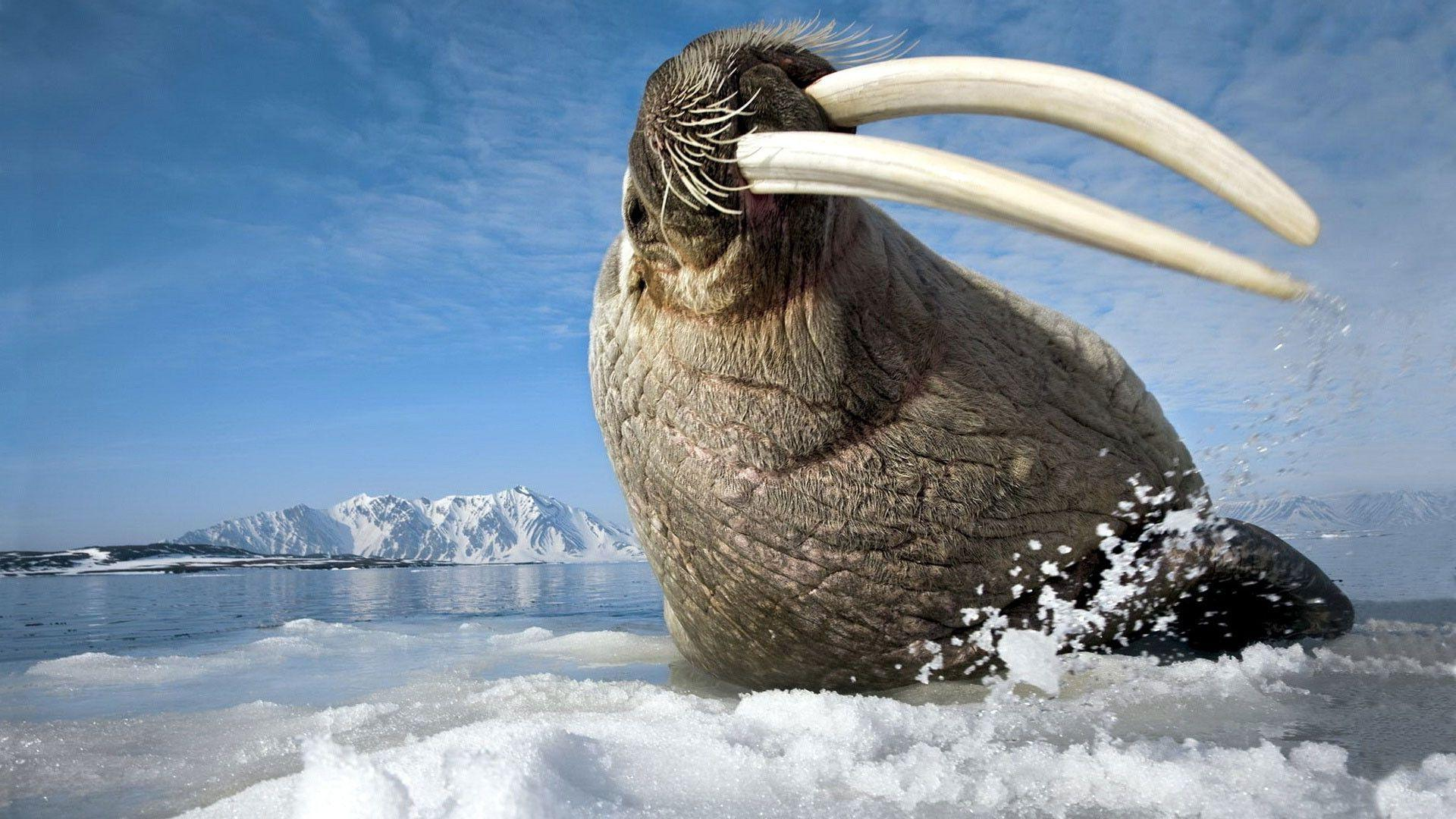 Walrus wallpapers wallpaper cave - Hd images download ...