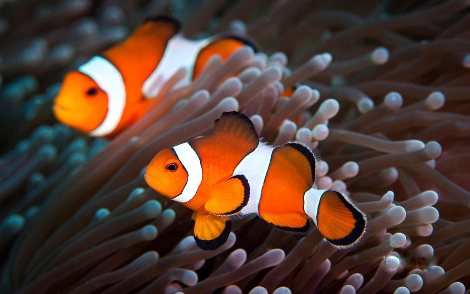 Clownfish and their adaptations thinglink for Clown fish habitat
