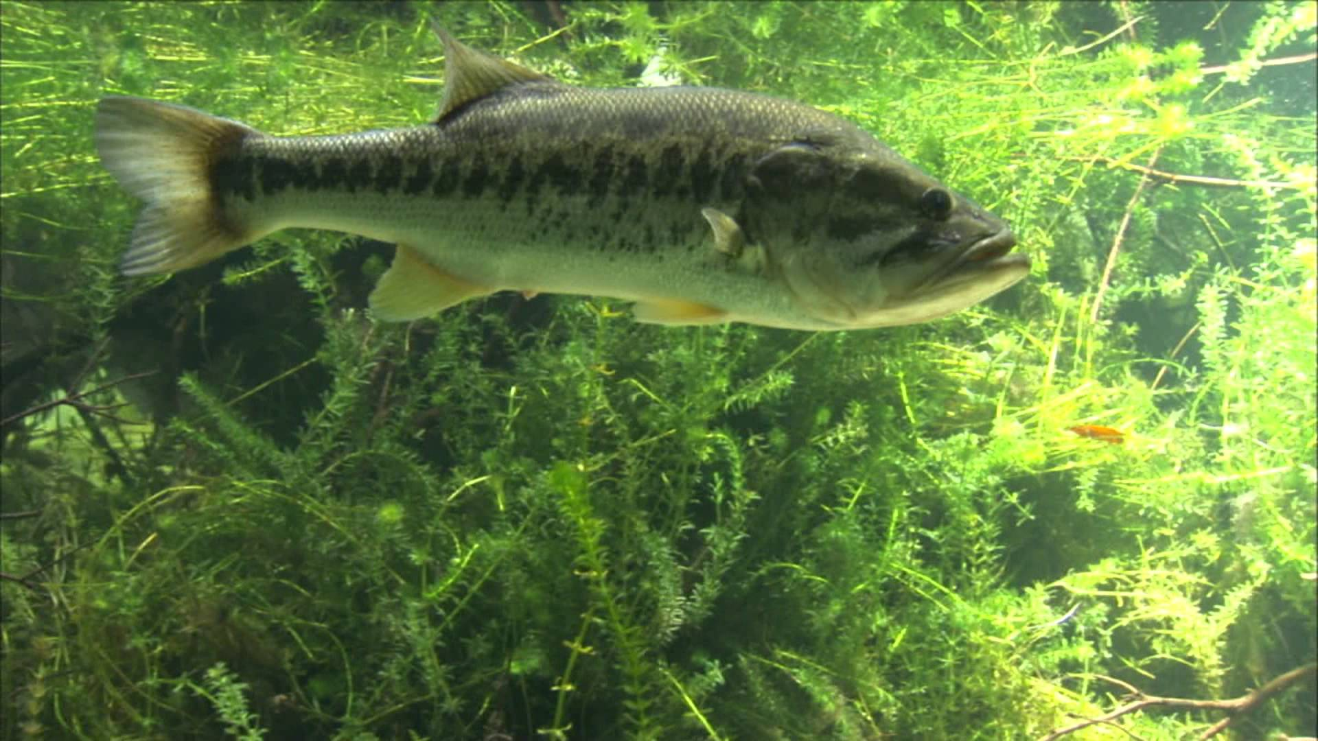 Largemouth Bass Wallpapers - Wallpaper Cave