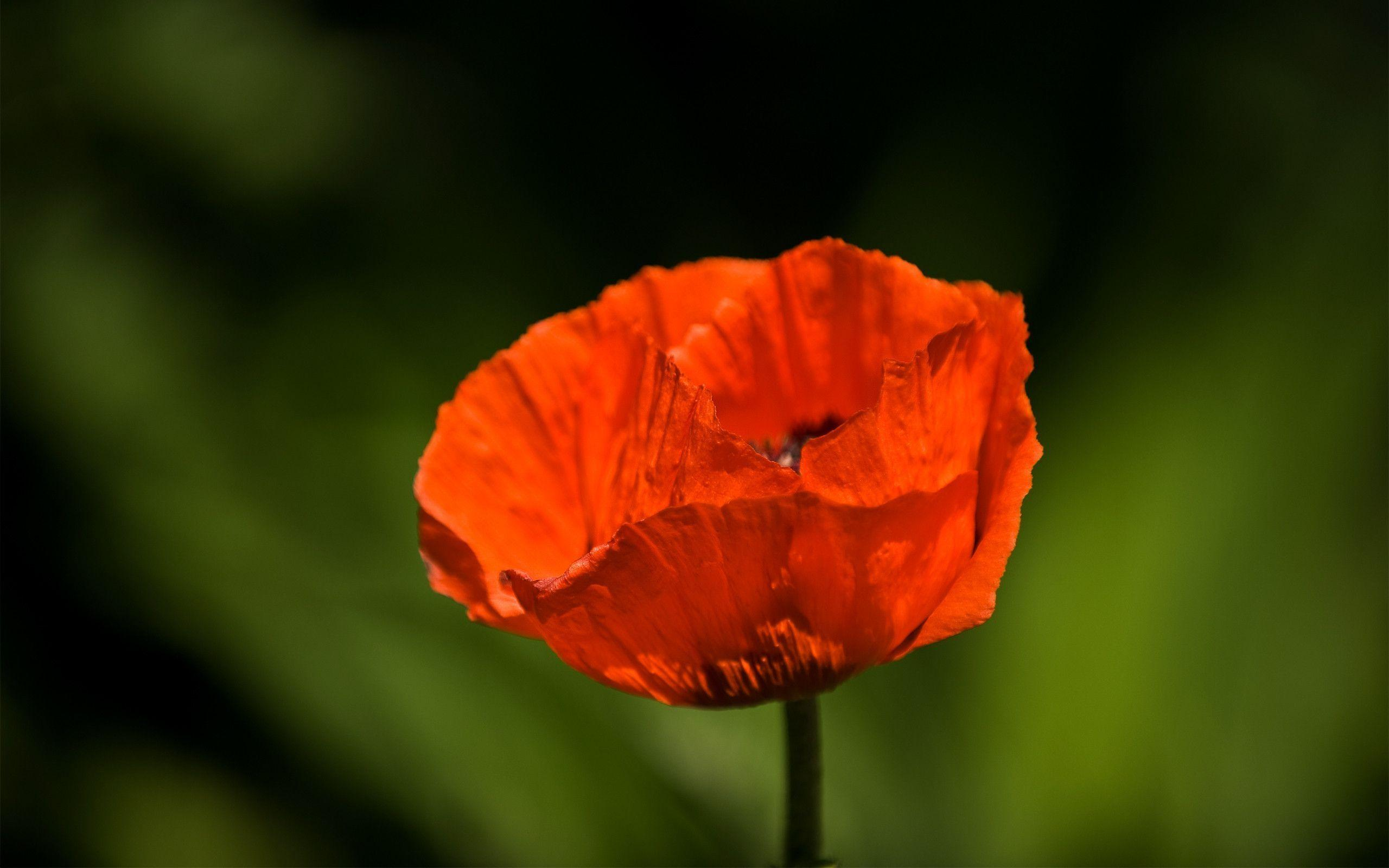 poppy wallpapers wallpaper cave