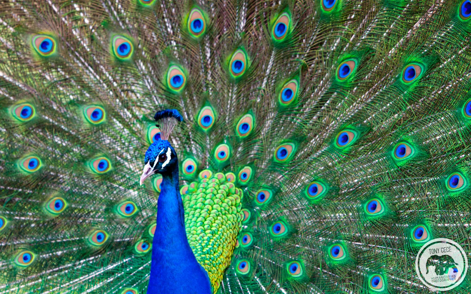 Peacock Art Photography Wallpaper Hq Backgrounds: Peacock Wallpapers