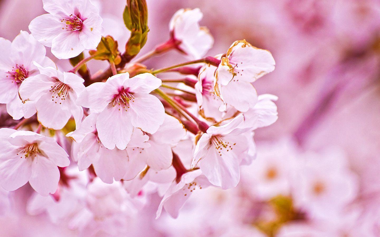 sakura.flower_wallpaper.jpg