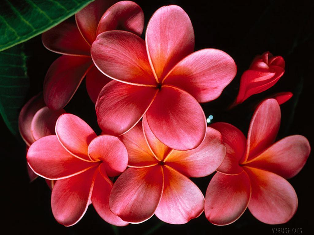 tropical flower wallpapers -#main