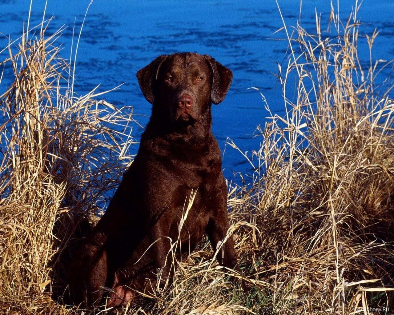 Chocolate Lab Wallpapers
