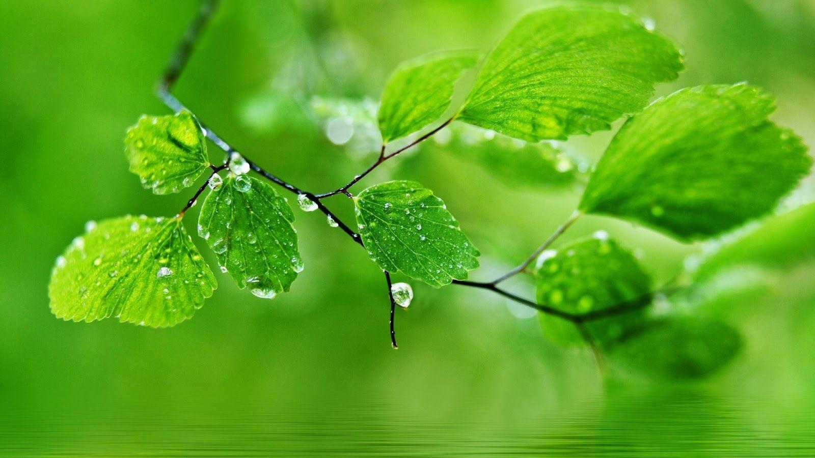 Water Drops On Leaves HD Desktop Wallpapers For Android | Free ...