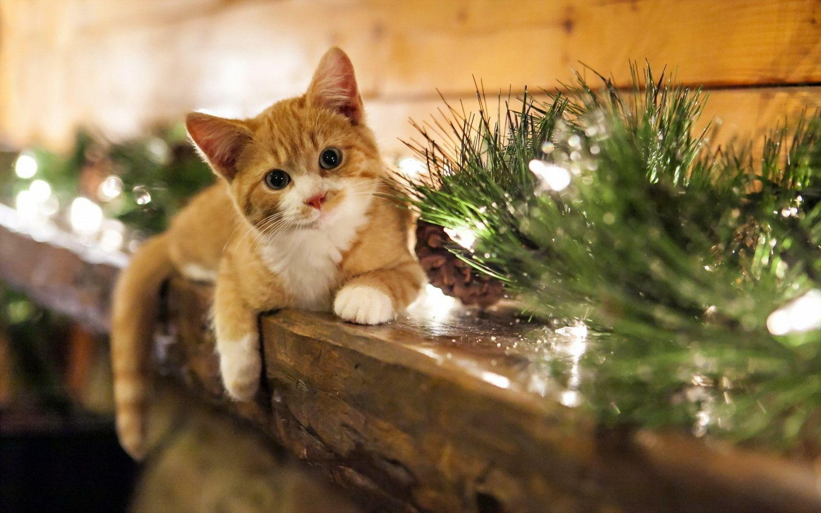 1680x1050 Christmas Kitten desktop PC and Mac wallpaper