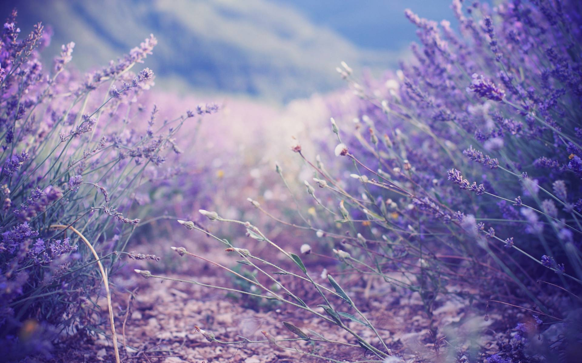 lavender color wallpaper hd - photo #14