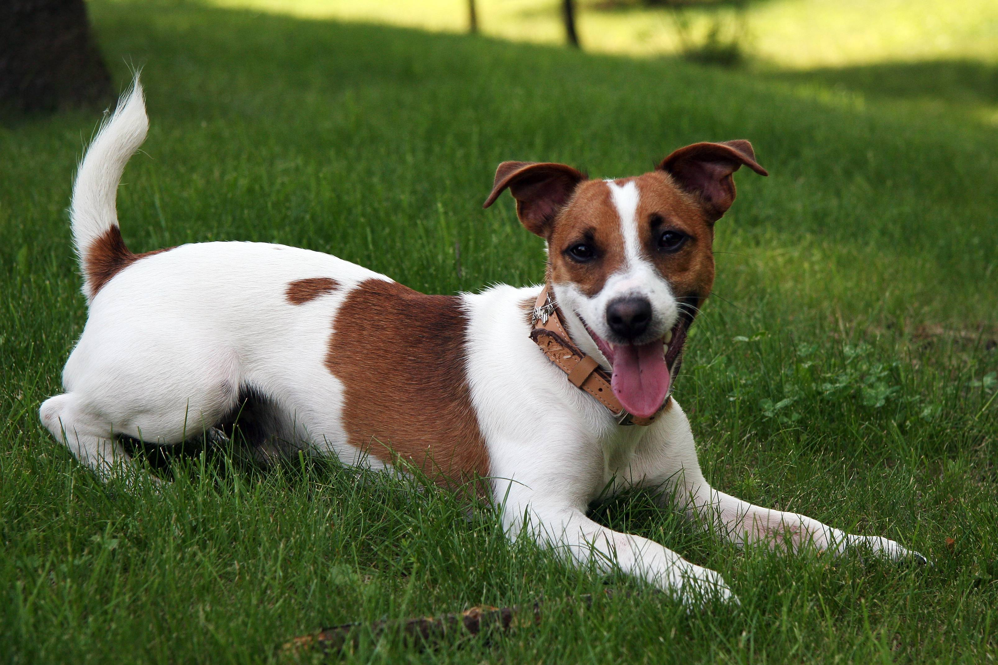 jack russell terrier wallpapers wallpaper cave
