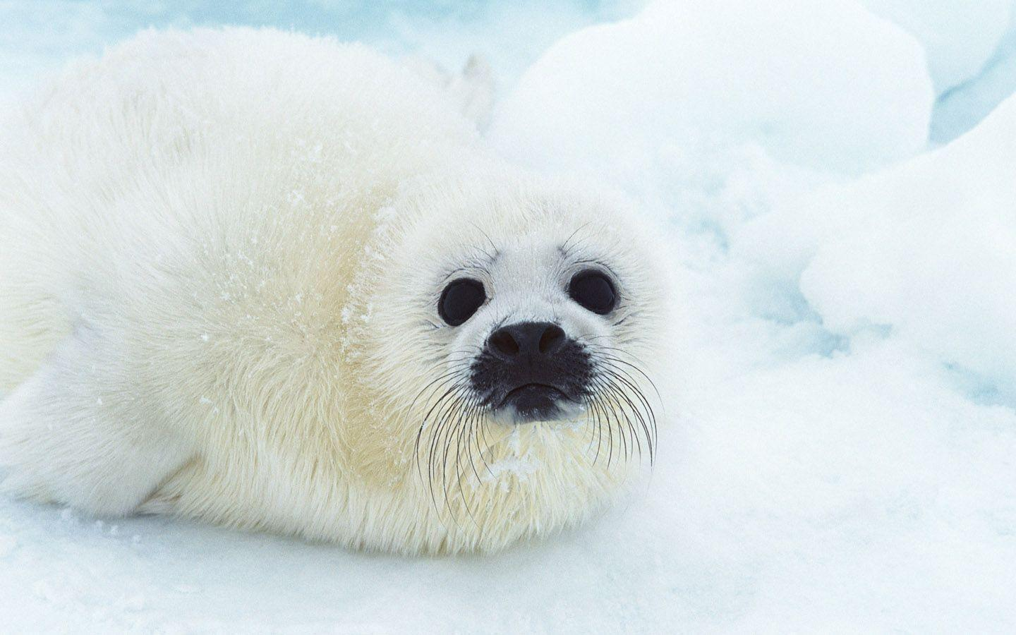 Cute Baby Seals 9361 Hd Wallpapers: Cute Baby Animal Wallpapers