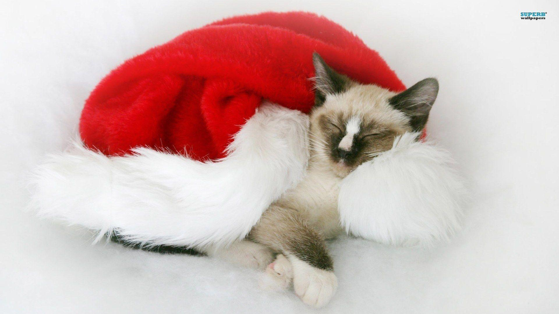 Wallpapers For > Christmas Kitten Wallpaper