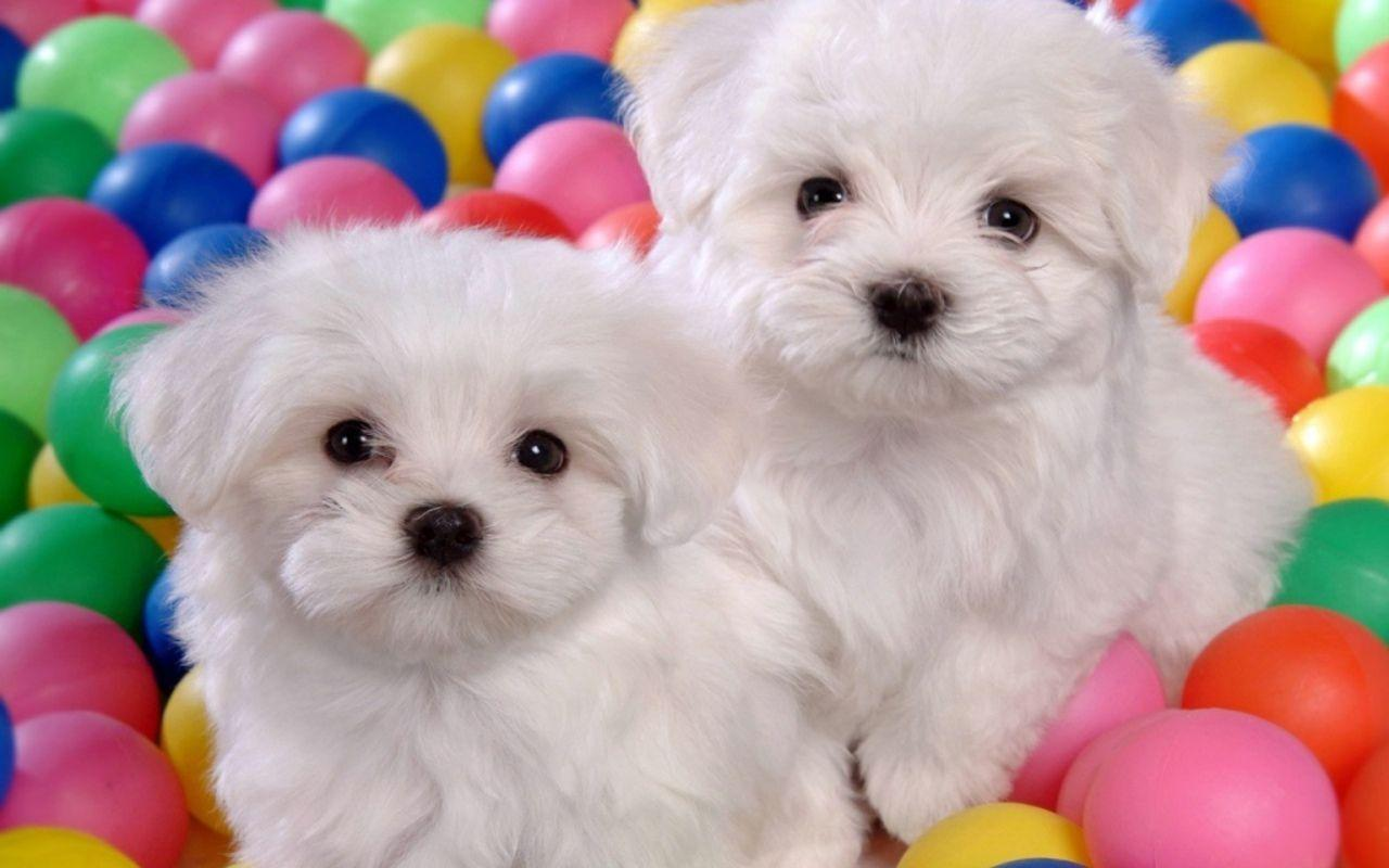 Dog Puppies Cute White 74190 Hd Wallpapers Image