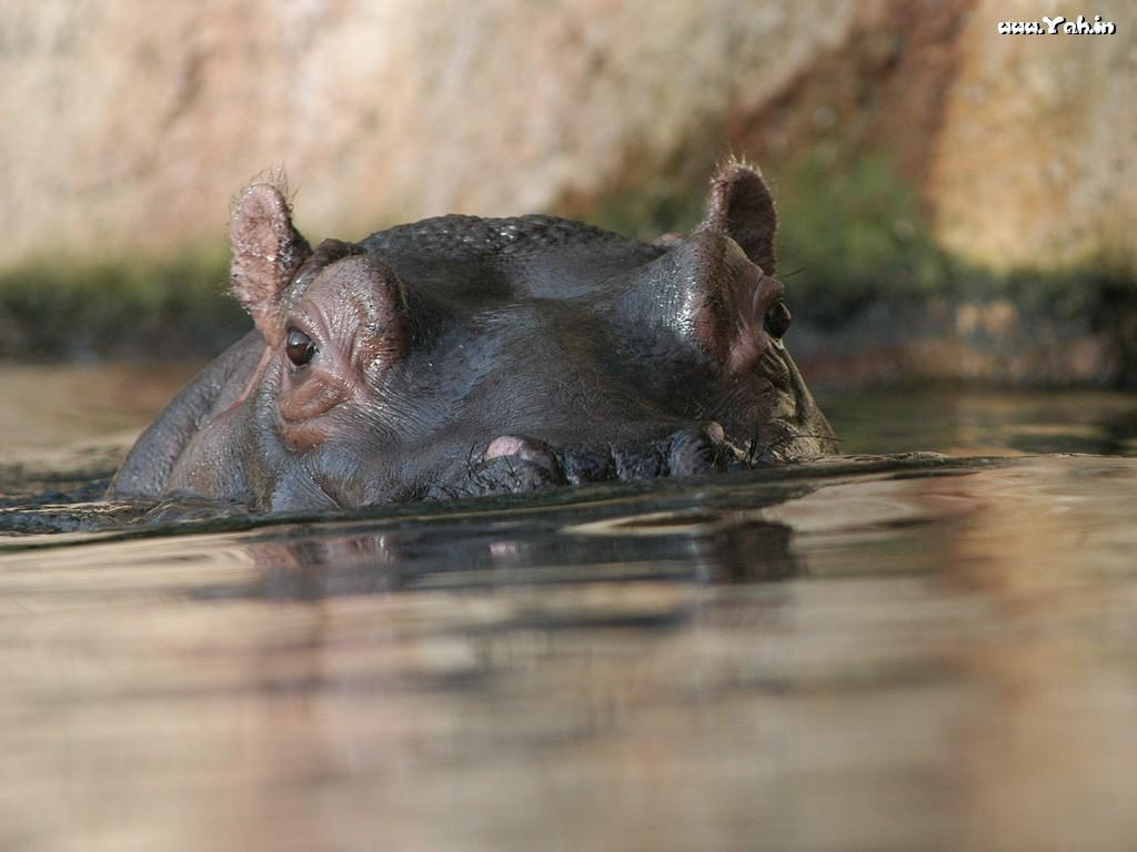 Hippopotamus Wallpapers - HD Wallpapers Inn