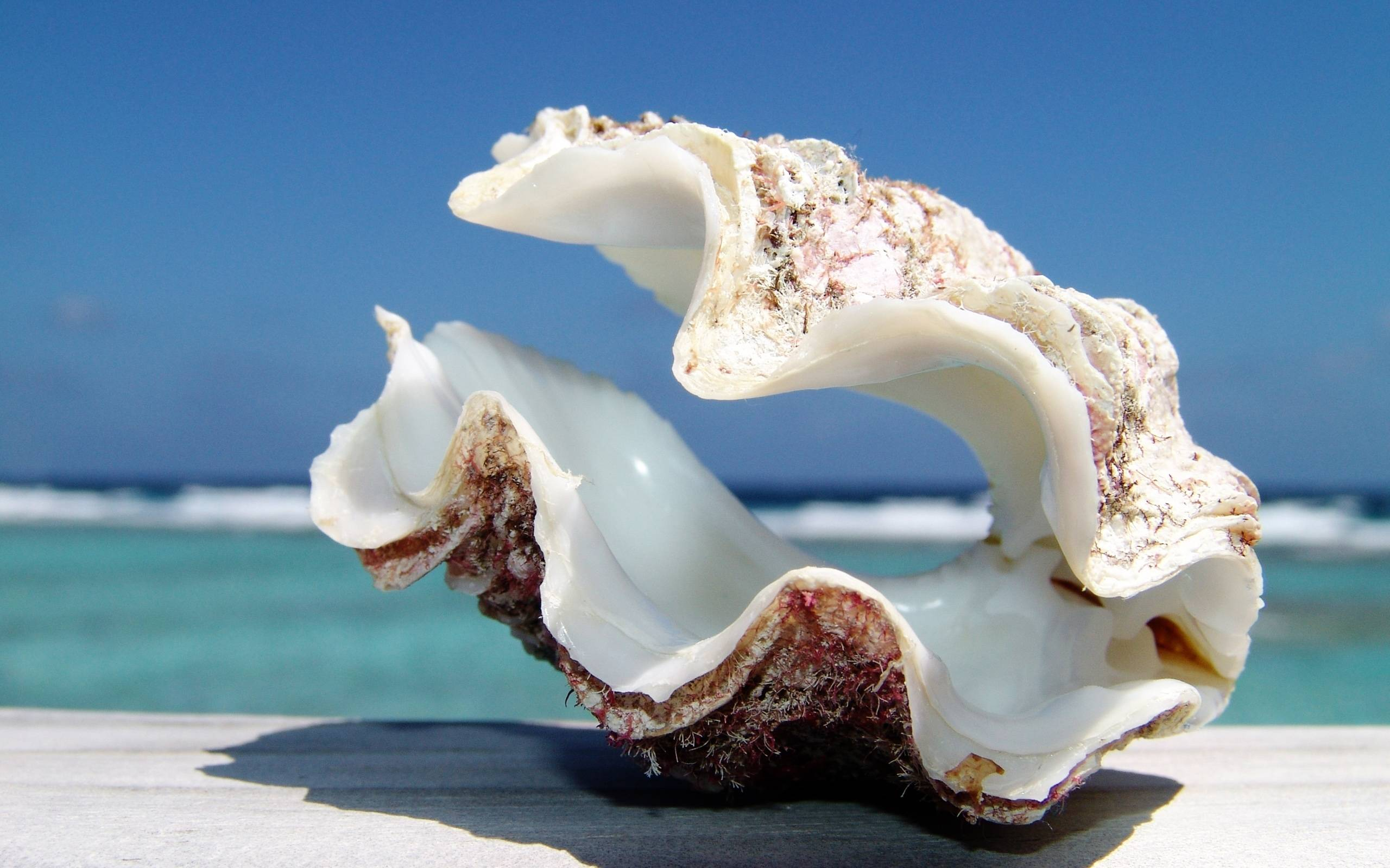 Giant Sea Shell widescreen wallpapers