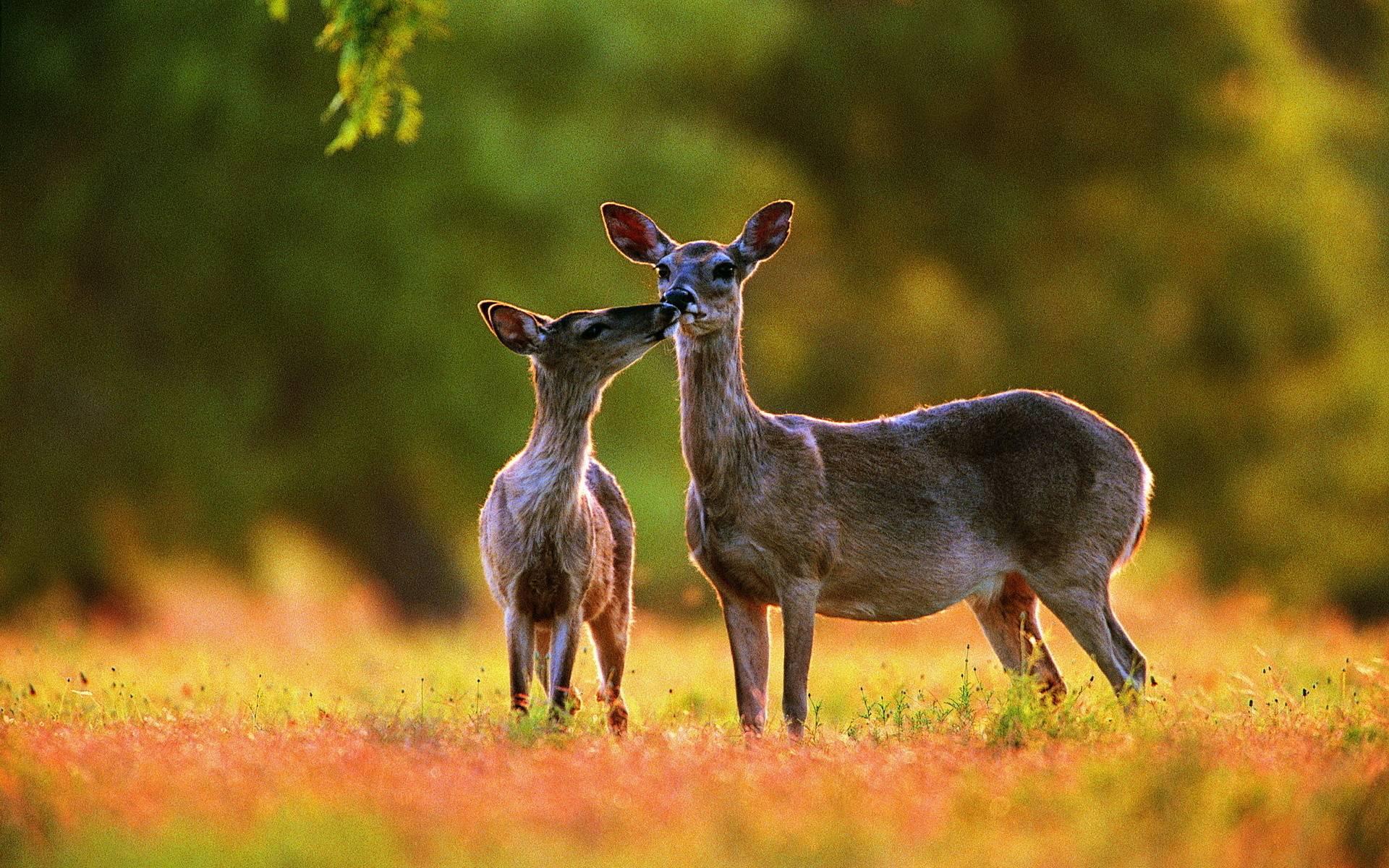 deer wallpaper for my desktop - photo #8